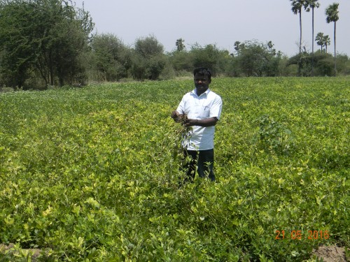Groundnut field assessment